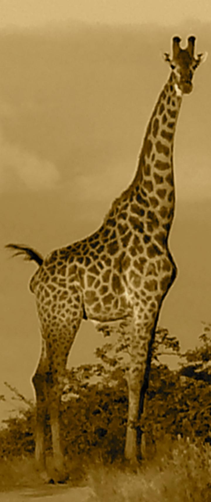Sunset-Giraffe
